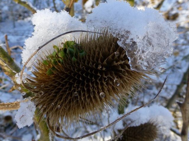 Teasle close up